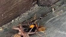 Vídeo mostra luta até a morte entre aranha caçadora e vespa gigante