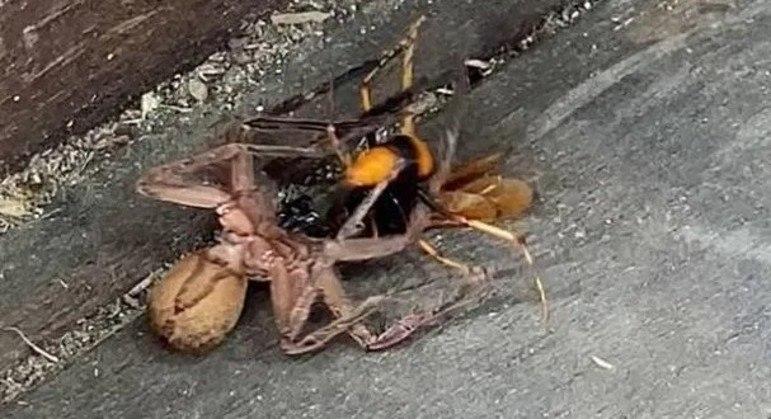 A natureza é implacável, como essa aranha caçadora gigante descobriu