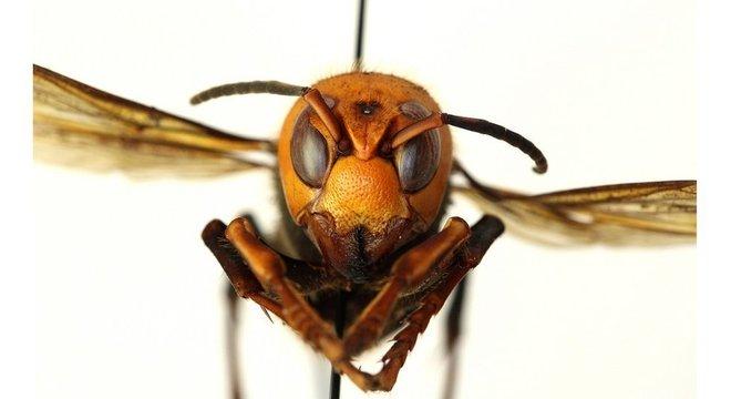 Entidade americana pediu que apicultores e moradores comuniquem imediatamente qualquer encontro com 'vespas assassinas' para evitar a propagação delas
