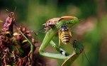 E aí surge a vespa. Não é a vespa mandarina, o inseto da moda, mas uma vespa é sempre assustadora. Ela quer um teco, um pedaço de gafanhotoVEJA ISSO:Momento de terror! Baleia-jubarte quase engole mulheres em caiaque