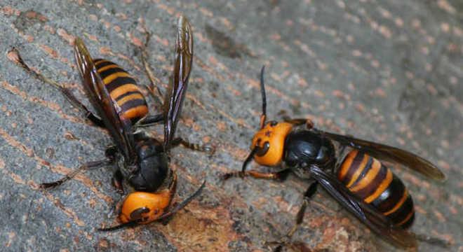 Ninho de vespas gigantes foi encontrado no estado de Washington (EUA)