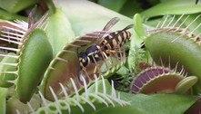 Nem vespas gigantes escapam da voracidade dessa planta carnívora