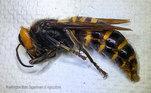 Os animais são grandes e agressivos. Apesar das abelhas serem o alvo principal. elas podem ser também uma ameaça para seres humanos