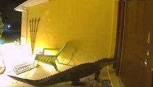 Visita inesperada: jacaré tenta invadir casa no meio da madrugada
