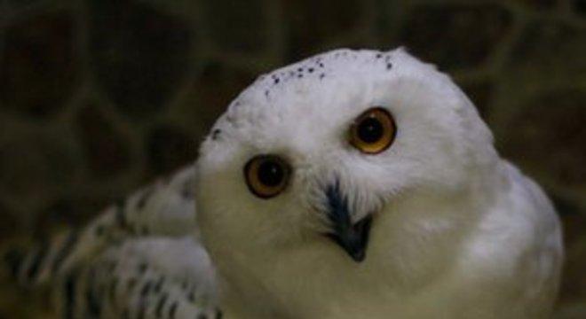 Wagner Ávila tem também uma coruja-das-neves ou coruja-do-ártico
