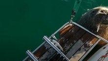 Morsa turista pode ser expulsa de ilha após destruir e afundar barcos