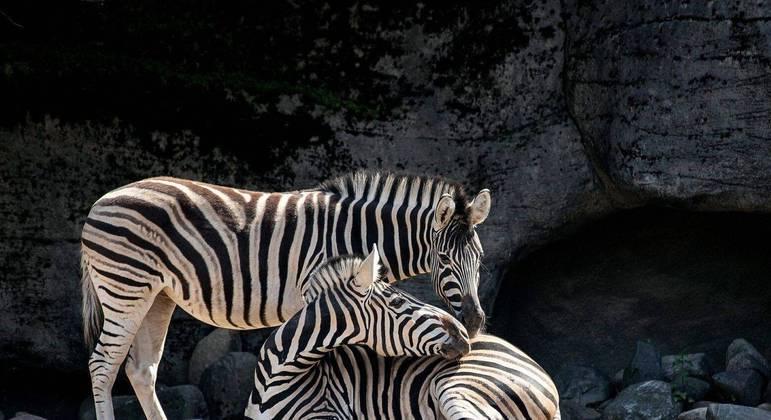Zebras, quais são as espécies? Origem, características e curiosidades