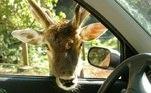 O Zoo Safári é uma das atrações do zoo e fica aberto de segunda a sexta-feira, das 10h às 16h. Sábados, domingos e feriados, o Zoo Safári opera das 10h às 16h. A compra de ingresso vai até as 15h. O Zoo Safári tem umfuncionamento diferente do Zoológico, a visita é feita dentro de veículos.O serviçode vans está suspenso, então o zoo pede que os visitantes acessem em seuspróprios veículos. Os carros também passam por processo de desinfecção nasrodas, antes de entrar no Safári.