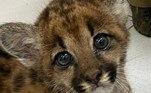Scott é o segundo filhote de onça parda que chegou recentemente ao Zoológico de Guarulhos. Devido a queimadas, o animal foi encontrado próximo a São José do Rio Preto, mas agora fará companhia ao mais novo colega, Logan
