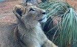 Outro filhote que também chegou recentemente foi Madiba, um leão. Apelidado pelos novos cuidadores de Gru Madiba, ele chegou para fazer parte da 'creche' do zoológico. Filho de Erindi, leoa vinda de um zoológico da Holanda, e Iduma, leão trazido da África do Sul, Madiba faz parte do processo de preservação da espécie, após a junção do casal, em 2016