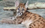 Logan, um filhote de onça parda, foi resgatado por um GCM (Guarda Civil Metropolitana) em uma usina, no município de Guaíra e chegou ao zoo no dia 27 de julho