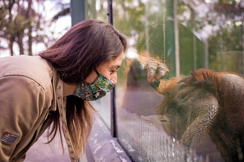 Orangotango Sansão, que está sentindo falta do contato com o público