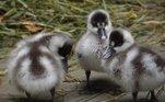 Filhotes da ave coscoroba também reforçam o time de pequenos novos habitantes do zoo nesta pandemia